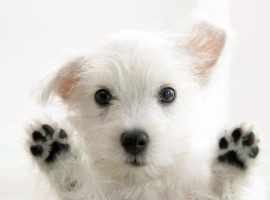 White-Puppies-Dog-Wallpaper-Picture